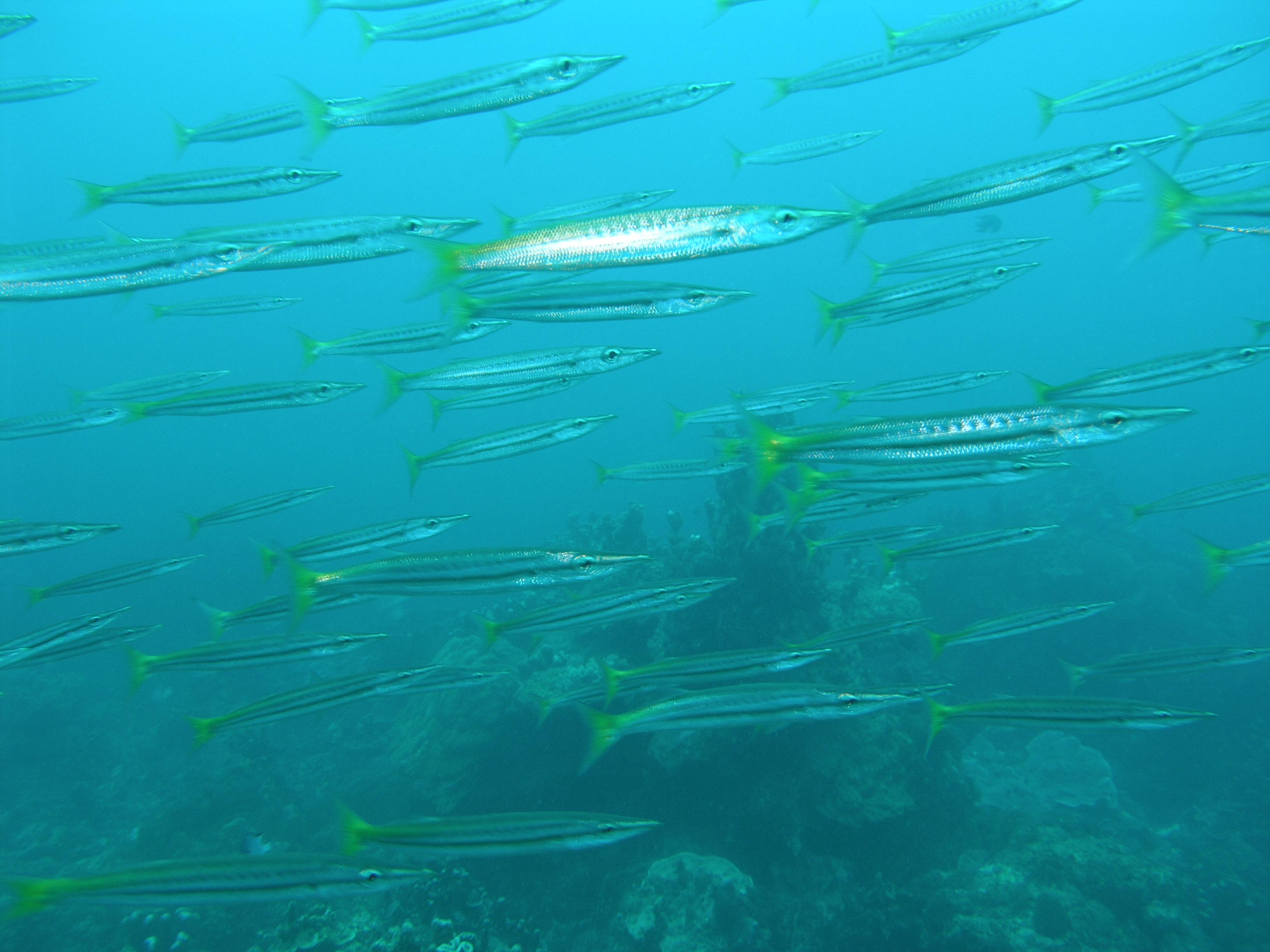 Желтохвостая барракуда фото
