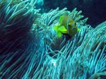 Рыба-клоун в водорослях