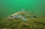 Рыба породы Судак обыкновенный