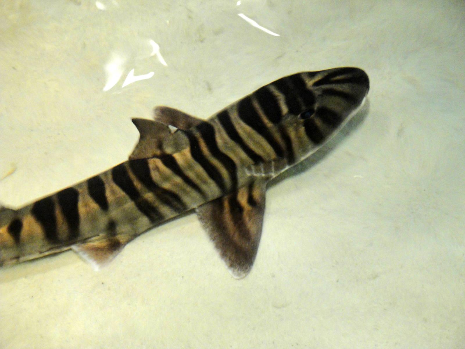 Зебровидная бычья акула фото