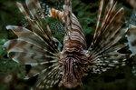 Морда рыбы породы Дендрохирус зебра