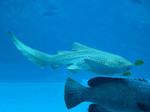 Зебровая акула исследует