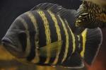 Морда полосатой тилапии