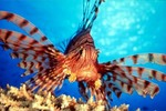 Морда полосатой рыбы-индюка