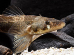 Морда рыбы породы Зингел