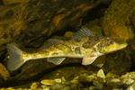 Рыба породы Зингел